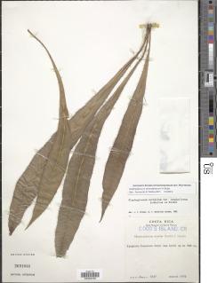 Image of Elaphoglossum alvaradoanum