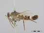 Apiocera (Anypenus) obscura Philippi, 1865