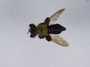 Laphria flavicollis Say, 1824