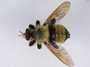 Laphria grossa Fabricius, 1775
