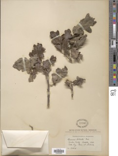 Quercus lobata image
