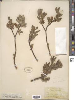 Image of Salix pseudomyrsinites