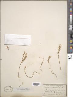 Sedum radiatum image