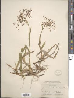 Luzula glabrata image