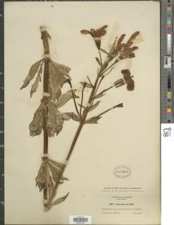 Lilium rubescens image