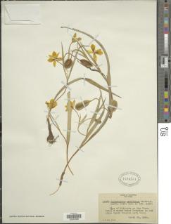 Calochortus monophyllus image