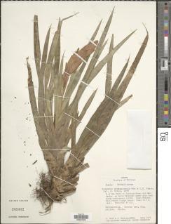 Image of Guzmania nicaraguensis