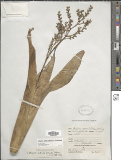 Image of Catopsis nitida