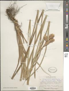 Guzmania calamifolia image