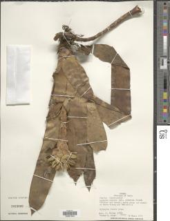 Guzmania musaica image