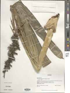 Image of Aechmea angustifolia