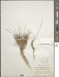 Image of Agrostis blasdalei