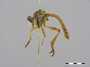 Michotamia vulpina (Bigot, 1875)
