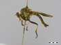 Ommatius dilatipennis Wulp, 1872