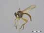 Ommatius sp.