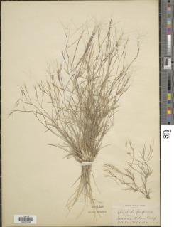 Aristida purpurea image