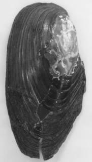 Anodonta kennerlyi image