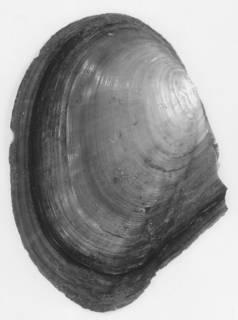Anodonta nuttalliana image