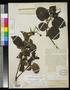 Hauya ruacophila Donn. Sm. & Rose