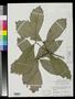 Quercus martinezii C.H. Mull.