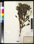 Osbeckia pityrophylla DC.