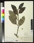Ficus areolata Elmer