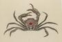 Carcinoplax indica Doflein, 1904