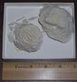 Undaria agaricites (Linnaeus, 1758)