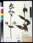 Hedyotis centranthoides f. diffusa Fosberg