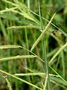 Urochloa mosambicensis (Hack.) Dandy