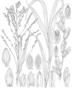 Brachiaria tatianae Zuloaga & Soderstr.