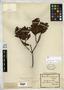 Plectanthera floribunda Mart. & Zucc.