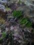 Caulerpa paspaloides (Bory) Grev