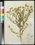 Machaeranthera tanacetifolia (H.B.K.) Nees