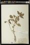 Acalypha rhomboidea Raf