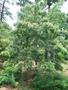 Euscaphis japonica (Thunb.) Kanitz