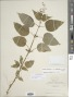 Circaea canadensis (L.) Hill