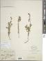 Oenothera suffrutescens (Ser.) W.L. Wagner & Hoch