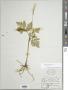 Botrychium virginianum (L.) Sw