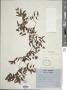 Lygodium microphyllum (Cav.) R. Br