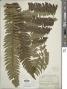 Cyathea grandifolia Willd. var. grandifolia