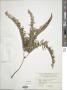Dicranopteris linearis (Burm. f.) Underw
