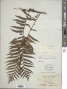 Sphaeropteris philippinensis (Baker) R.M. Tryon