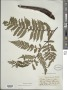 Alsophila portoricensis (Spreng. ex Kuhn) D.S. Conant