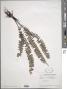 Asplenium monanthes L