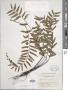 Asplenium radicans var. cirrhatum (Rich. ex Willd.) Rosenst.