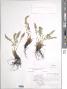 Woodsia ilvensis (L.) R. Br