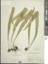 Neolepisorus fortunei (T. Moore) Li S. Wang