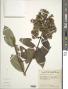 Dubautia latifolia (A. Gray) D.D. Keck