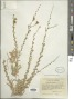 Blepharizonia plumosa (Kellogg) Greene